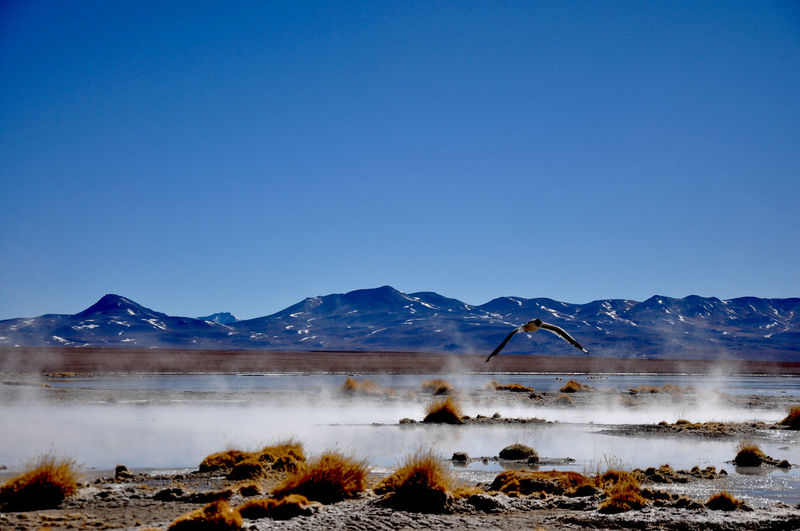 Bird flying over hot spring against clear sky at altiplano