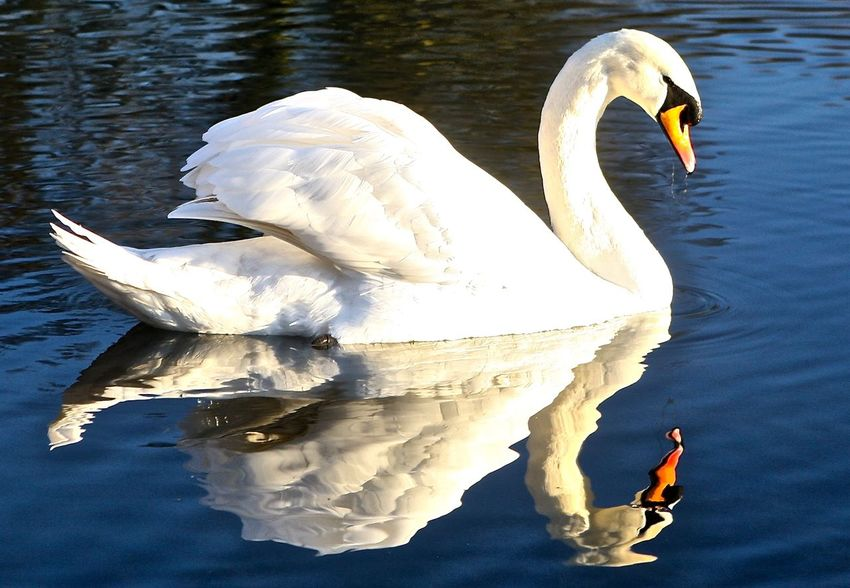 Reflective swan. Beauty In Nature Day Lake Nature No People Outdoors Swan Water White White Color