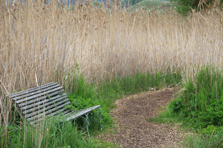 Lonely bench between reet with winding footpath Bench Footpath Hiking Lonely Nature Overgrown Path Day Empty Garden Grass Growth Landscape Nature No People Old Outdoors Park Plant Reed Relaxation Seat Trail Tranquility Winding