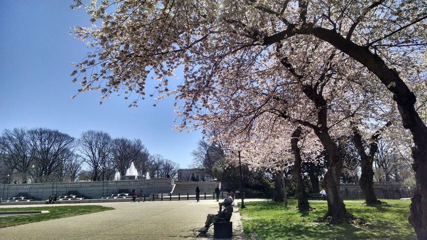 Tree Branch Grass Outdoors Clear Sky Day Sky Nature Springtime Flowers Freshness Growth Nature Flower Cherry Blossoms US Capitol Building