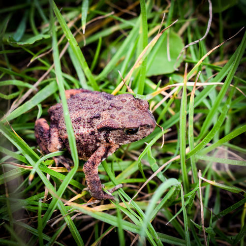 One Animal Animals In The Wild Animal Wildlife Nature Outdoors No People Day Animal Themes Grass Full Length Close-up amphibian The Week On EyeEm Nature D3300 EyeEmNewHere Nikon Djursland Beauty In Nature Summer Denmark Molsbjerge Animals In The Wild Frog Amphibian
