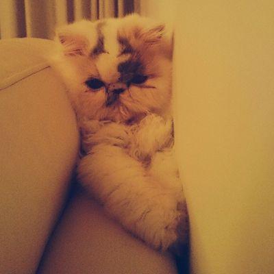 Someone's acting all cute Selene Persian Kitten Cats Nature