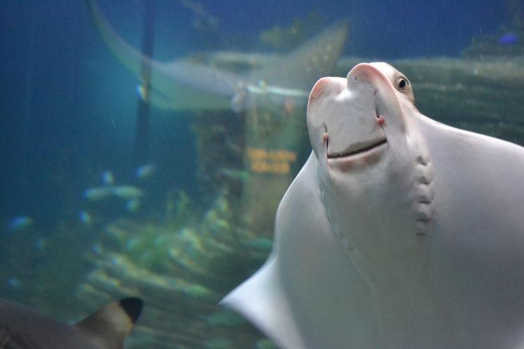 Close-up of stingray in aquarium