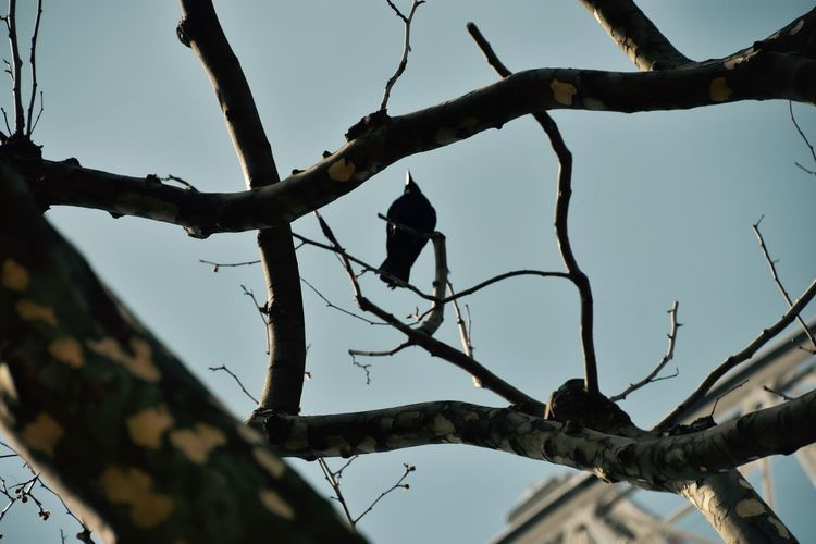 Raven perched on tree top Branch Day Low Angle View Raven Raven - Bird Raven On Tree Raven Perched Sky Tree Tree Trunk