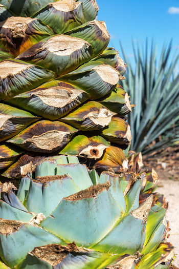 Close-Up Of Blue Agave Pineapple On Field