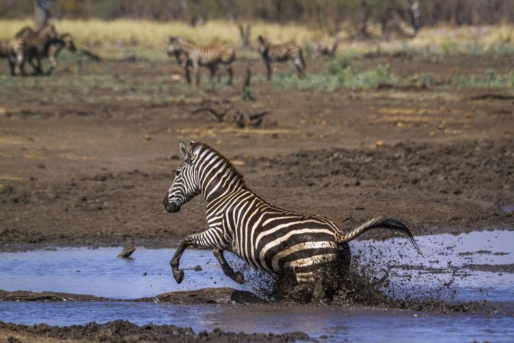 Zebra jumping in lake