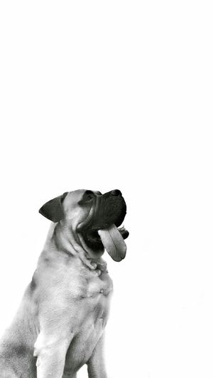 Dog Pets One Animal White Background Domestic Animals Mammal Animal Themes No People Close-up Day Indian Photographer CreativePhotographer Artistic Art Photography Nature Livestock Full Length Chennai Diaries Style Of Today  Science Bull Master Breed Dog Dog Photography Beautiful
