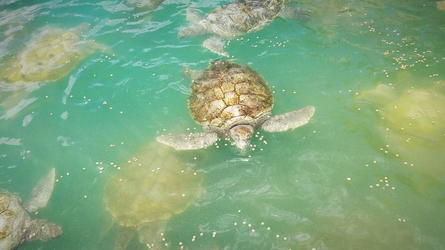 High angle view of sea turtles swimming in sea