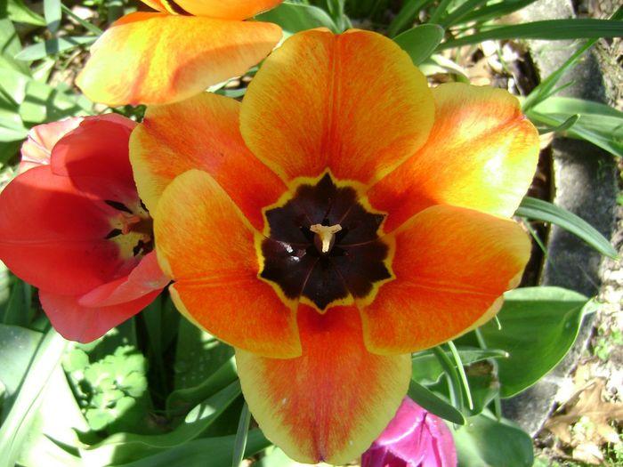 The Bloom Tulips🌷 Closeup Flowers Pollenation Pollen