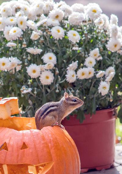 A cute chipmunk checks out the view from this pumpkin rim