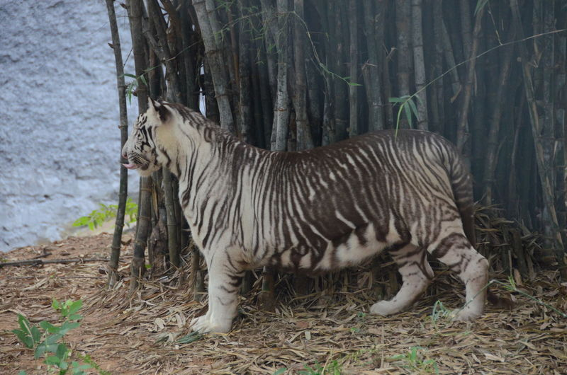 White Tiger Standing By Bamboo In Forest