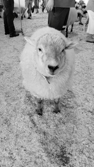 Sheep Arizona Carnival AriZona♡ Sheep🐑 Sheeps Sheep@Work Sheepfarm Farm Life Farm Sheepsheep Sheepish Sheepies! Sheepies Baa Sheepworld Sheeps.