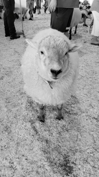 Sheep Arizona Carnival AriZona♡ Sheep🐑 Sheeps Sheep@Work Sheepfarm Farm Life Farm Sheepsheep Sheepish Sheepies! Sheepies Baa Sheepworld Sheeps.