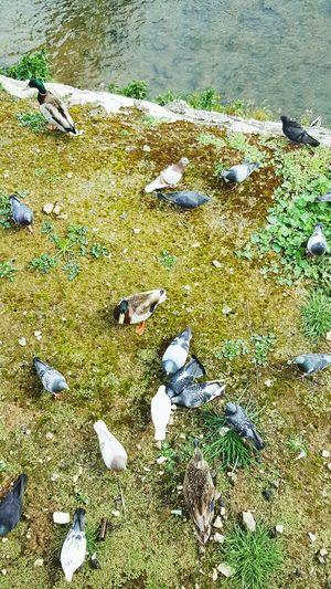 Patos Pombos a comerem pão