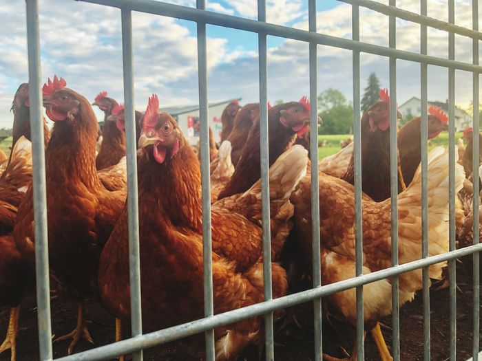 Chickens behind a fence Baden-Württemberg  Farm Chicken - Bird Animal Animal Themes Group Of Animals Mammal Livestock Domestic Animals Nature Day Vertebrate Domestic No People Pets Boundary Barrier Fence Agriculture Metal Cage Outdoors Animal Wildlife
