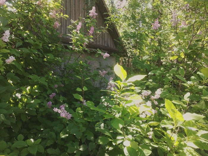 Country House Home Is Where The Art Is Lilac Lilac Flowers Lilac Bush