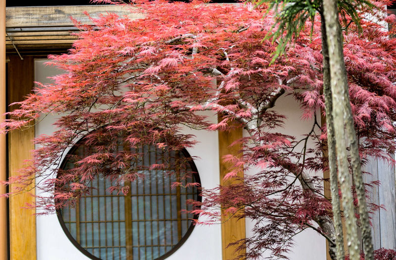 Pink cherry blossom tree by building