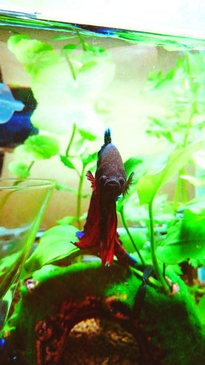 my lovely bettafish Betta Splendens Betta Fish Bettafishcommunity Animal Themes One Animal Animals In The Wild Animal Wildlife No People Day Nature