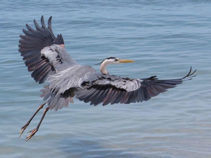 Full length of gray heron flying over water
