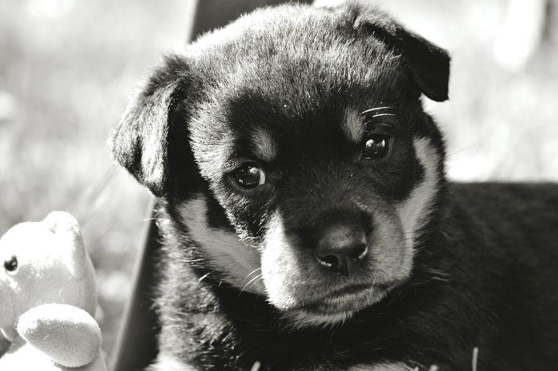 Hugoandhisrottieadventures Fosterpuppy Blackandwhite Puppy Love Foster Dogs Rottweiler Rottweilerpups RottweilerLovers Rottweilerlife Dog