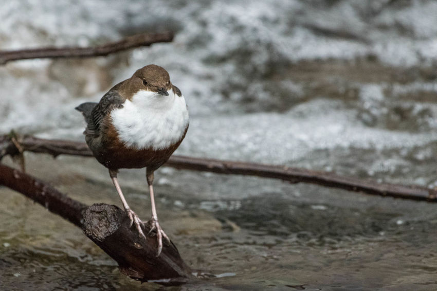 Wasseramsel White-throated dipper Animal Themes Animal Wildlife Animals In The Wild Bird Close-up Day Focus On Foreground Nature No People One Animal Outdoors Perching Water White-throated Dipper