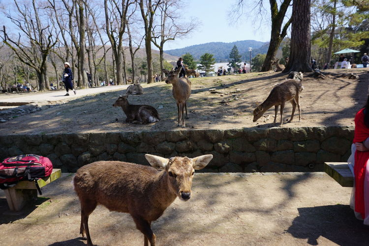Day Deer Domestic Animals Friendly Japan Kyoto Lifestyles Livestock Mammal Men Nature One Person Outdoors People Real People Shadow Sunlight Tranquil Scene Tranquility Travel Travel Destinations Tree