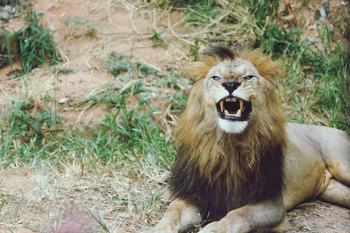 Animals In The Wild Lion - Feline Animal Wildlife Roaring One Animal Lioness Day Mammal Nature Outdoors No People Portrait Animal Themes Safari Animals