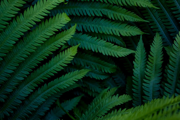 // Ferns 🌿🌿 Green Color Leaf Plant Fragility Fern Growth Full Frame No People Close-up Day Nature Beauty In Nature Frond Freshness EyeEmNewHere The Week On EyeEm