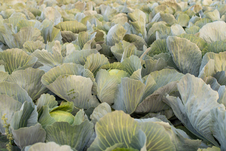 Cabbage field in the cabbage growing