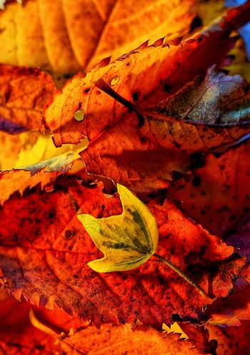 No People Leaf Autumn Nature Beauty In Nature Close-up