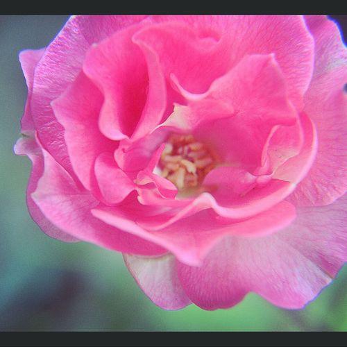 Rose is forever. Lovelike. Roses Roseflower Pinkrose Flower Flowerlover