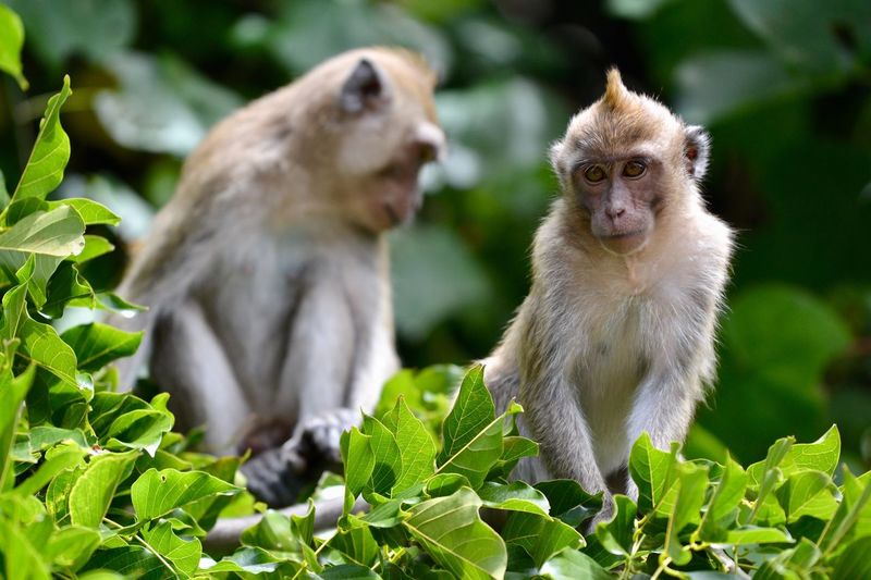 Nous naviguions pour aller voir les chutes d'eau de Quatres Soeurs. Il y avait beaucoup d'arbres et de mangrove. Des chauves-souris arboraient le ciel et soudain, un macaque, puis deux, trois, quatre. Peut-être quatres soeurs? Non il y avait un mâle parmi le groupe, certainement le père. Néanmoins, ça peut paraître bête, mais voir ces petits singes en début de journée ne pouvait que promettre une super suite d'excusion. 🙊🙈🙉 monkMonkeyyBabyrMauritius Island rMauritiusgSingemAnimalsuNature WwfgJungleaMacaquesoZakodWildlWorldwide