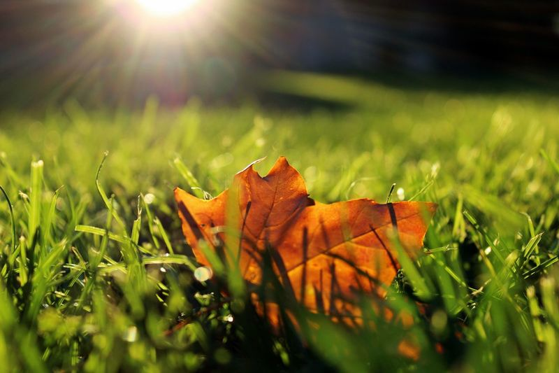 Autumn Beauty In Nature Change Close-up Falling Field Focus On Foreground Golden Leaf Grass Green Color Growth Leaf Leaf Vein Leaves Lens Flare Nature Outdoors Plant Season  Selective Focus Sun Sunbeam Sunlight Sunset Tranquility