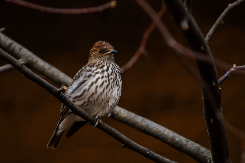 Portrait of a bird Animal Wildlife Animal Themes Animal Bird Animals In The Wild Vertebrate One Animal Perching Branch Tree No People Focus On Foreground Twig Day Nature Outdoors Close-up Plant Looking Bare Tree