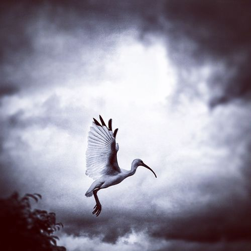 Ibis flying in sky