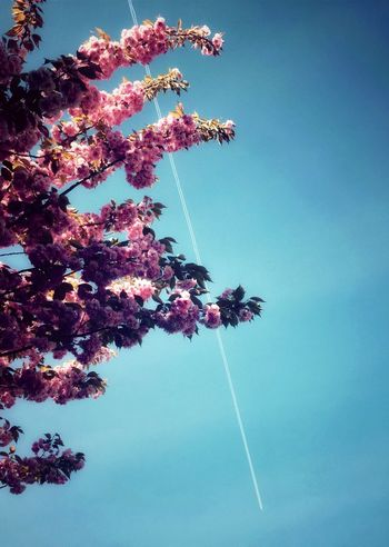 Cherry blossom with vapour trail in sky Low Angle View Tree Beauty In Nature Flower Nature No People Blossom Cherry Blossoms  Vapour Trail Spring Outdoors Day Springtime Pink Color Branch Contrail Fragility Vapor Trail Clear Sky Freshness