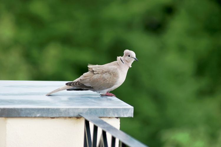 Dove perching on wall