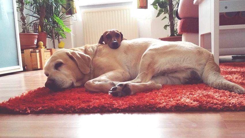 Pet Portraits Dackelblick Dog Domestic Animals EyeEmNewHere
