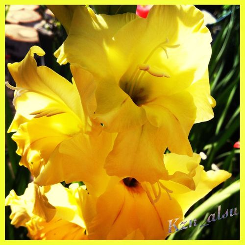 Flowers Yellow Gladiolus Bright Picture For Good Mood