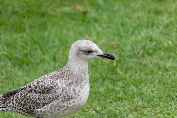 Seagull in porto Animal Animal Themes Animal Wildlife Animals In The Wild Bird Close-up Day Field Focus On Foreground Grass Green Color Land Looking Nature No People One Animal Outdoors Plant Profile View Side View Vertebrate