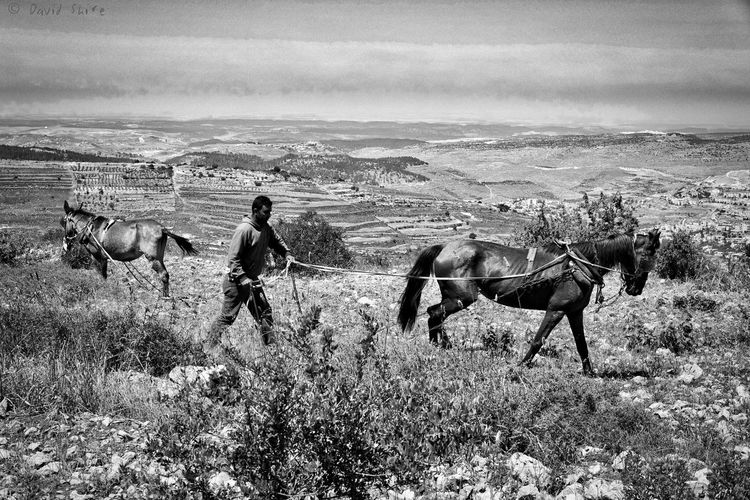 Traditional Labour no.1 Agriculture Arab Field Gush Etzion Horizon Over Land Horse Labour Landscape Palestinian Plough Ploughing Rural Scene Traditional Culture Traditional Work