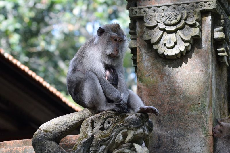 Balinese long-tailed monkey - Macaca - macaque. Monkey Animals In The Wild Wildlife Photography Animal Themes Animal Wildlife Animals In The Wild Balinese Close-up Cute Animals Day Focus On Foreground Macaque Mammal Monkey Monkey Forest Ubud No People Outdoors Portrait Primate Ubud