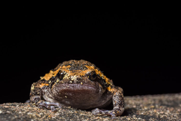 Close-up of bullfrog relaxing on rock