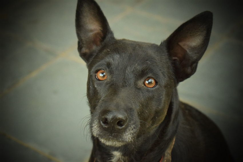 Dog Domestic Animals Pet Portraits