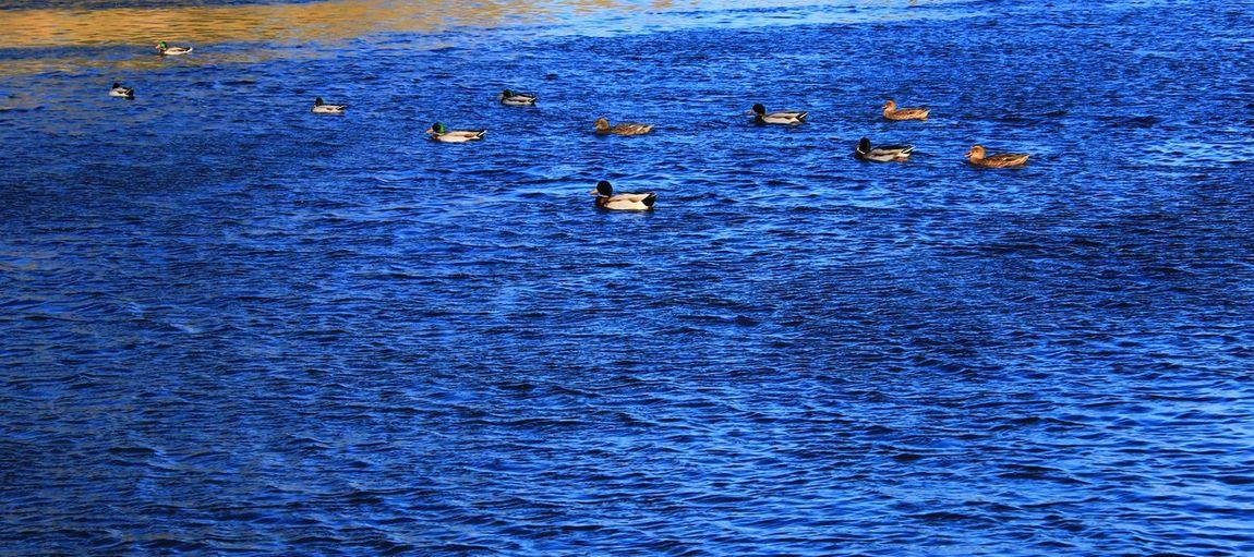 Ducks Ducks At