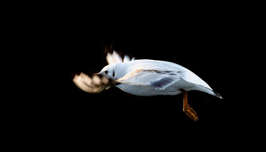 Gull flying outdoors