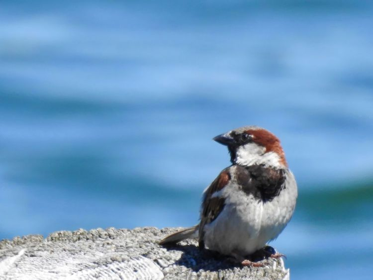Sparrow perching seaside. Pier Animal Themes Animal Wildlife Animals In The Wild Bird Birds Birds_collection Blue Water Close-up Cute Bird🐥 Day Focus On Foreground Nature No People One Animal Outdoors Perching Perching Bird Seaside Sparrow