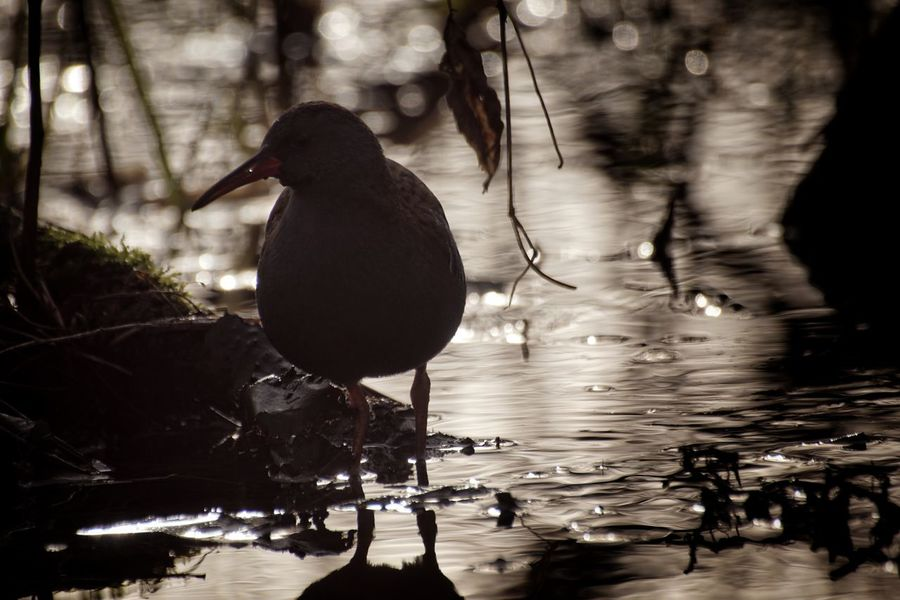 Showcase February 2018 Niklas Februari 2018 Water Rail Bird Animals In The Wild Animal Wildlife Reflection One Animal Water Animal Themes Lake No People Outdoors Day Nature