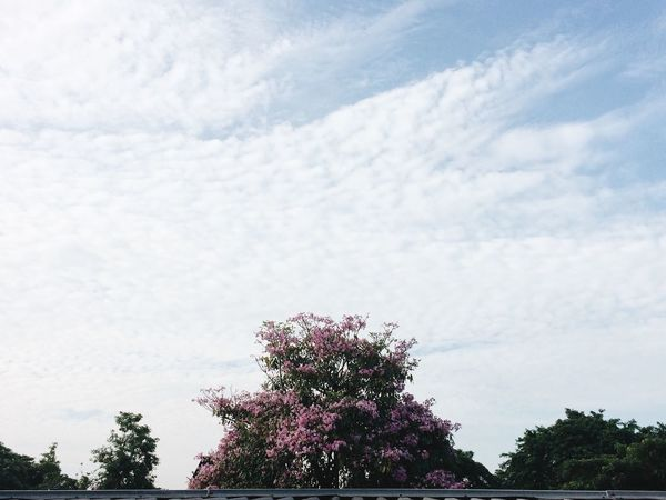 Flowers Blooming Morning Sky Dramatic Sky Sakura Minimalism Minimalist Rooftop View  Rooftoop EyeEm Nature Lover September Blossoming  Flower Photography VSCO VSCO Cam EyeEm Gallery Cherry Blossoms Malaysia IPhoneography EyeEm Best Edits Hope Malaysia Truly Asia Malaysianphotographer