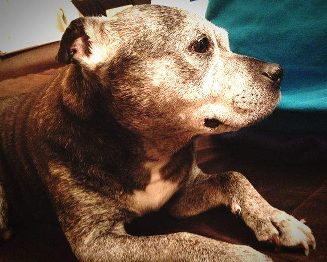 Staffy Staffies There Softer Than You Think Staffordshire Bull Terrier Dog Dogs My Dog Memberofthefamily